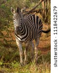 a lone burchell's zebra   equus ... | Shutterstock . vector #1118422679