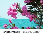 Pink Oleander Is Against The...