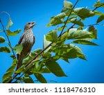 songbird on a branch | Shutterstock . vector #1118476310