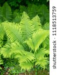 Matteuccia Is A Genus Of Ferns...