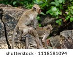 mating of monkeys in thailand. | Shutterstock . vector #1118581094