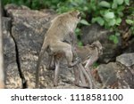 mating of monkeys in thailand. | Shutterstock . vector #1118581100