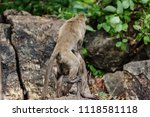 mating of monkeys in thailand. | Shutterstock . vector #1118581118
