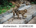mating of monkeys in thailand. | Shutterstock . vector #1118581130