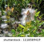 Antelope Horn Milkweed Seeds