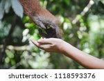 An Orangutan Touching A Human...