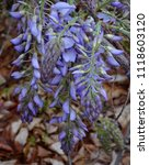 an abundance of lilac buds in...   Shutterstock . vector #1118603120