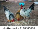 beautiful three thai bantam... | Shutterstock . vector #1118605010