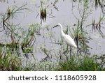 great egret  aka white heron ... | Shutterstock . vector #1118605928