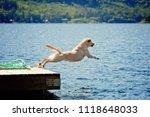 Stock photo  yellow lab dog jumps off dock at lake 1118648033