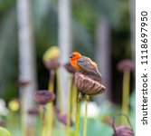 colorful africansparrow sits on ... | Shutterstock . vector #1118697950