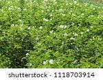 green potato bushes blooming...   Shutterstock . vector #1118703914