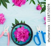 Small photo of Fresh magenta peony flowers with garden shears and pruner on blue wooden background. Flat lay.