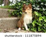 Shetland Sheepdog Puppy Sittin...