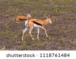 springbok  the national animal... | Shutterstock . vector #1118761484
