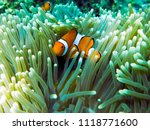 clownfish hide in anemone at... | Shutterstock . vector #1118771600