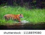 the siberian tiger  panthera... | Shutterstock . vector #1118859080