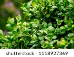 green bush foliage with deep... | Shutterstock . vector #1118927369