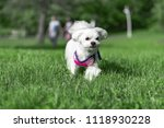 the dog runs on the grass | Shutterstock . vector #1118930228