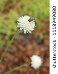 Small photo of Bee on a Giant scabious pale yellow flower - Latin name - Cephalaria leucantha