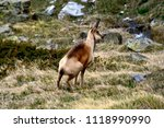 Close View Of A Wild Chamois In ...