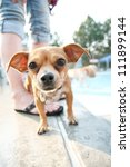 a chihuahua at a public pool - stock photo
