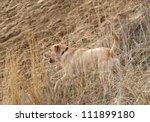 a labrador retriever in a field - stock photo