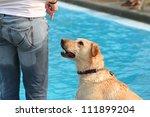 a labrador retriever at a public pool - stock photo