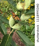 A Monarch Butterfly Rests On...