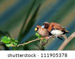 Small photo of Small songbird on a branch (Amadina)