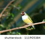finches sitting on a branch in... | Shutterstock . vector #111905384