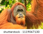 portrait of male sumatran... | Shutterstock . vector #1119067130