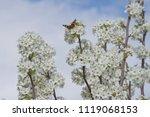 A Pretty Moth On Pear Blooms...