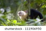 White Faced Capuchin In The...
