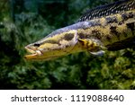 fish   blotched snakehead or... | Shutterstock . vector #1119088640