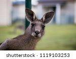 The Curious Kangaroo