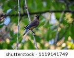 cedar waxwing eating bugs | Shutterstock . vector #1119141749