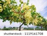 white grape vines on a sunny day | Shutterstock . vector #1119161708
