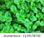 fresh apple mint leaves...   Shutterstock . vector #1119178730