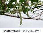 balsam pear growing in farmland | Shutterstock . vector #1119188594