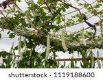 balsam pear growing in farmland | Shutterstock . vector #1119188600