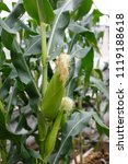 green corn  growing in fields | Shutterstock . vector #1119188618