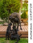 cane corso italiano with her... | Shutterstock . vector #1119197159