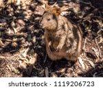 Quokka - Australia Animal Quoka