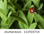 Lady Bug On Grass