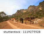 Small photo of Mother cows with their calves loiter on dirt road in Myanmar countryside