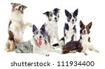 Stock photo portrait of purebred border collies in front of white background 111934400