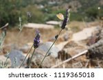 lavender and butterfly | Shutterstock . vector #1119365018