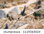 beautiful butterfly on lavender ... | Shutterstock . vector #1119365024