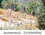 lavender with butterflies | Shutterstock . vector #1119365030